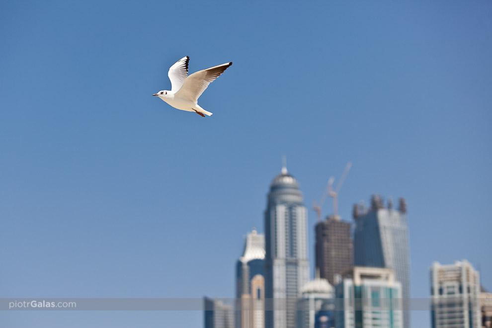 """Dubaj 2013 // Mewa na tle najwyższych apartamentowców Dubaju i zarazem jednych z najwyższych na świecie. Od lewej Ocean Heights (""""malutki"""" - 310 m, 82 piętra), Elite Residence (380 m, 91 pięter), Princess Tower (413 m, 101 pięter), Emirates Crown (""""w dole"""" - 296 m, 63 piętra), Dubai Marriott Harbour Hotel & Suites (na samym dole - 256 m i 59 pięter), Dream Dubai Marina (z dźwigami - 426 m, 101 pięter), Al Habtoor Business Tower (152 m, 40 pięter), Cayan Tower aka Infinity Tower (""""skręcony"""" - 307 m, 73 piętra) i Botanica Tower (172 m, 42 piętra)."""